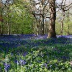 Bluebells in Surrey
