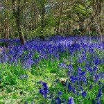 Bluebell in Surrey