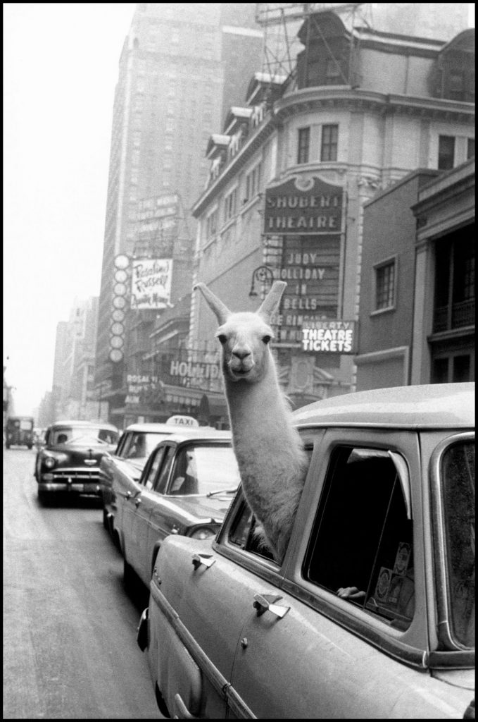 A Llama in Times Square. Inge Moriath